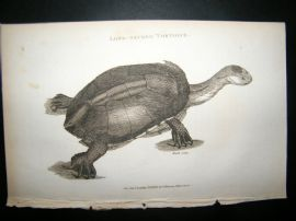 Shaw C1810 Antique Print. Long-Necked Tortoise